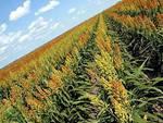 ogm_colture_geneticamente_modificate_agricoltura_grano_mais_soia_biocarburanti_coltivazioni