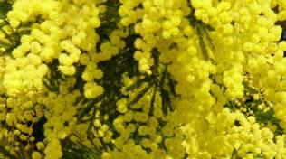 mimosa donna fiori