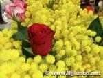 mimosa donna 2012 fiori