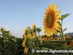 girasoli_agricoltura