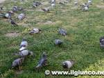 piccioni_2mod