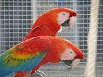 pappagalli_crase_semproniano