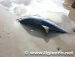 delfino_spiaggiato_follos_2013mod