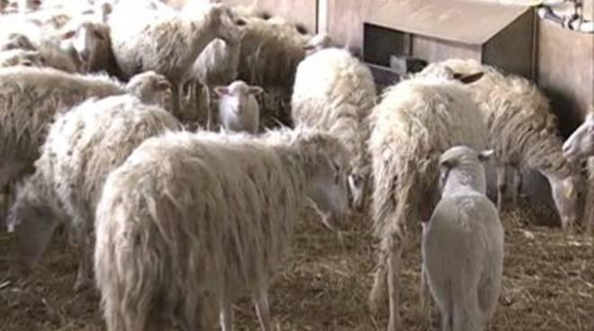 pecore_gregge_interno_01mod