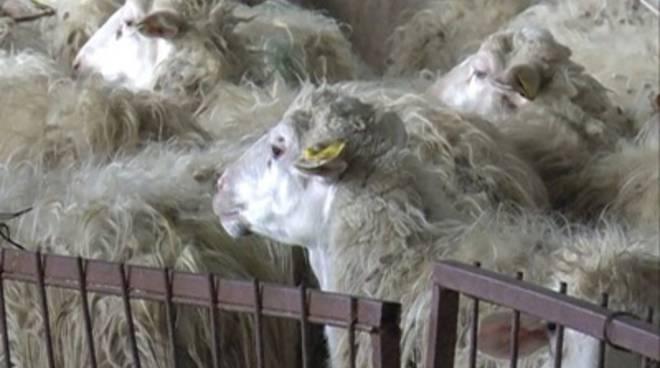 pecore_gregge_interno_02mod