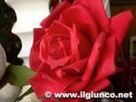 rosa fiori 2013 donne