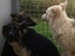 ibriwolf cani randagi ibridi