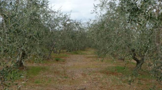 Xylella negli ulivi di Monte Argentario, Marras: