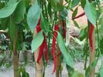 orto peperoncino