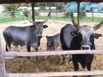 vacche_bovini