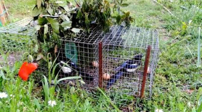 Gabbie per catturare uccelli nella diaccia botrona scatta for Trappola per gazze
