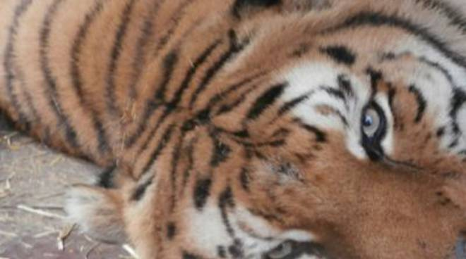 tigre_2014
