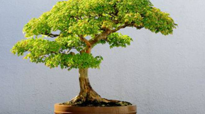 bonsai_wikipedia