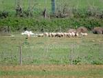 pecore_ovile_gregge