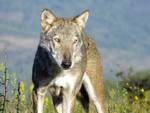 lupo_medwolf