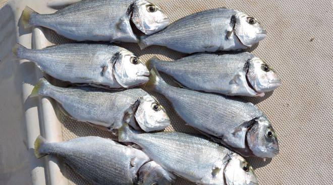 Pesce pesca