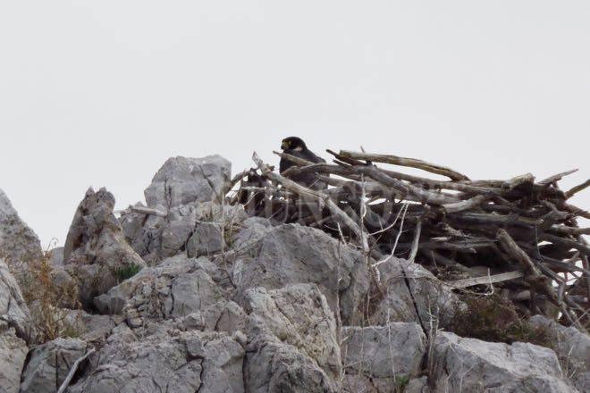 Cala di forno falco pellegrino nidifica