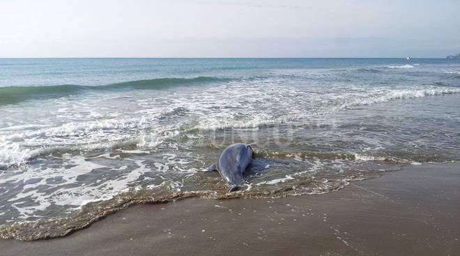 Delfino morto sulla spiaggia di castiglione della pescaia - Bagno oasi follonica ...