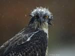 Falco Pescatore di Marco Brandi