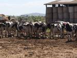 mucche vacche allevamento