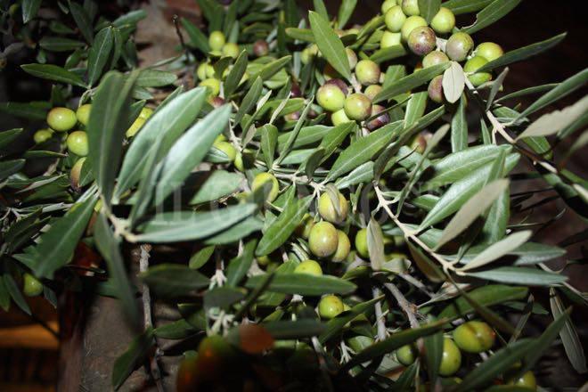 olive olio 2015