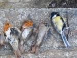 uccellini bracconieri