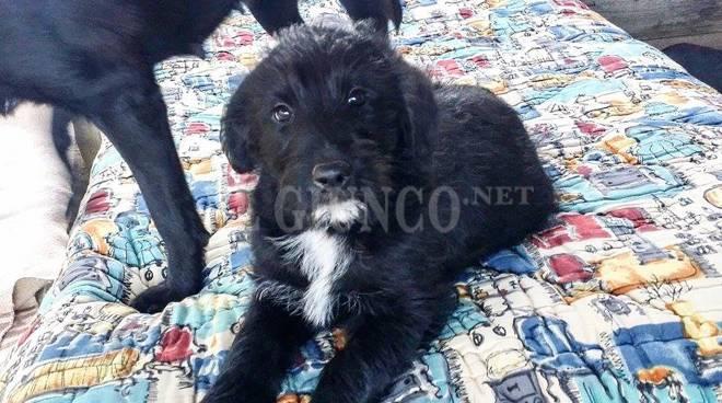 cucciolo cane nero