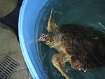 tartaruga amalonda guscio