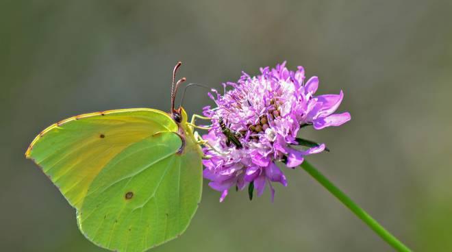 farfalla primavera