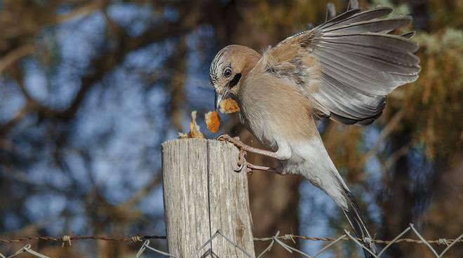 Ghiandaia uccello