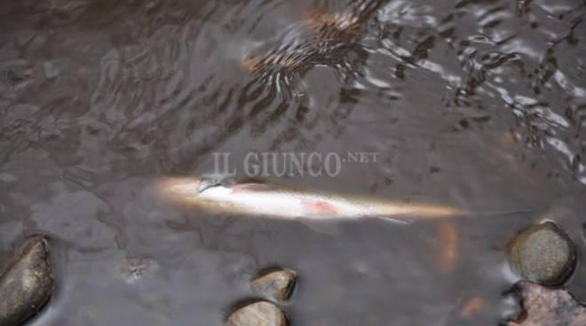 Liquami nel torrente e nel fiume moria di pesci for Pesci di fiume