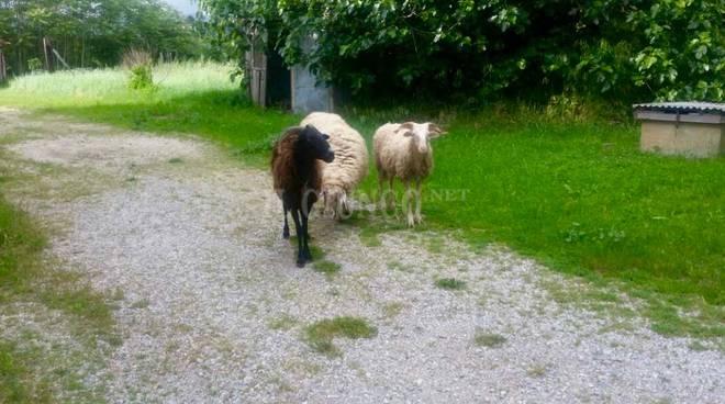 Capre e pecore fuggono in paese e caricano municipale e for Cattura per capre