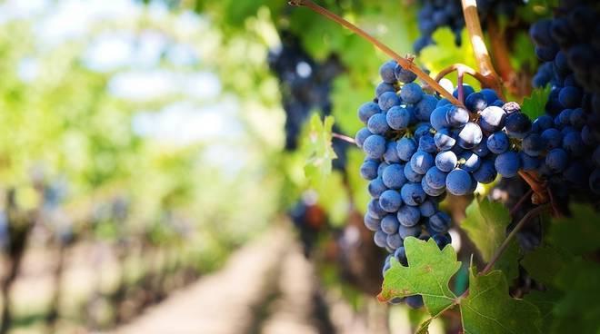 Uva vigna vino