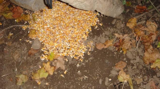 esca foraggiamento grano cinghiale frodo