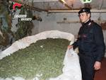Marijuana Blitz