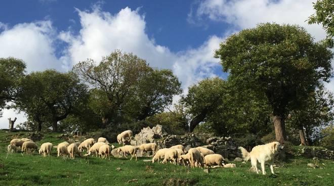 pecore gregge ovini pastorizia