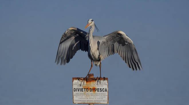Laguna divieto di pesca airone cenerino