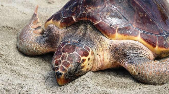Legambiente pulizia spiaggia 26 maggio tartaruga
