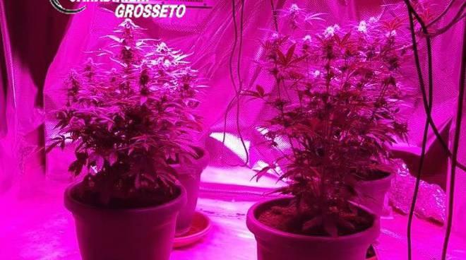 Coltivazione della marijuana lampade e serra in casa denunciato