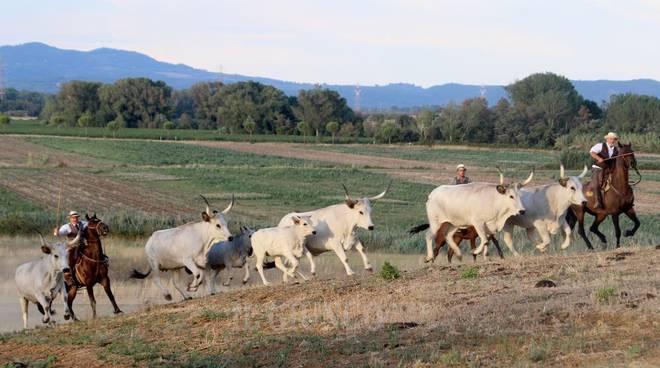 Rocca di Montemassi Vacche maremmane