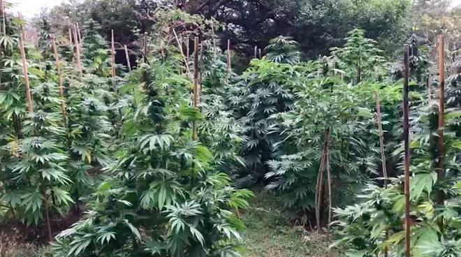 Piantagione marijuana 2017 cannabis
