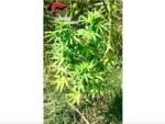 marijuana cc