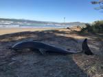 Delfino spiaggiato dicembre 2018