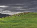 pascolo pecore Roccastrada