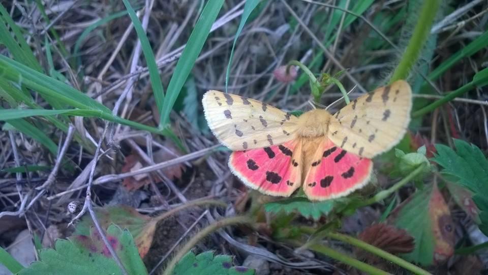 falena farfalla (da Fb)