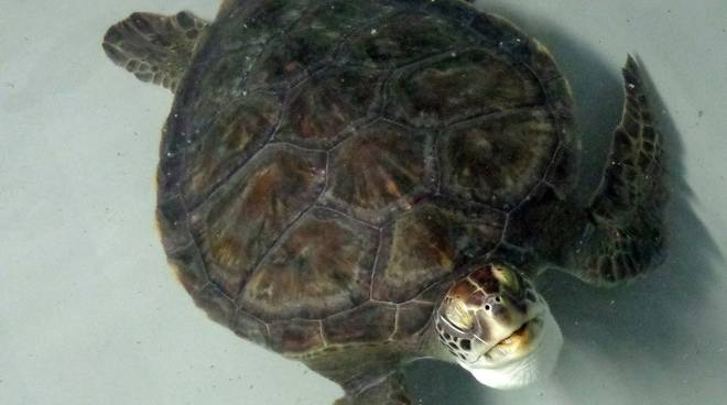 nausica - tartaruga chelonia mydas