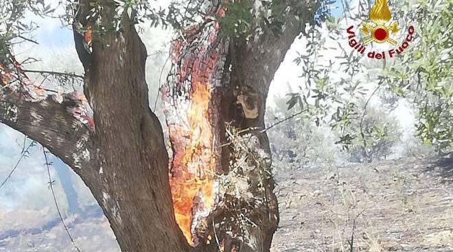 incendio oliveto
