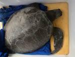 tartaruga Chelonia mydas