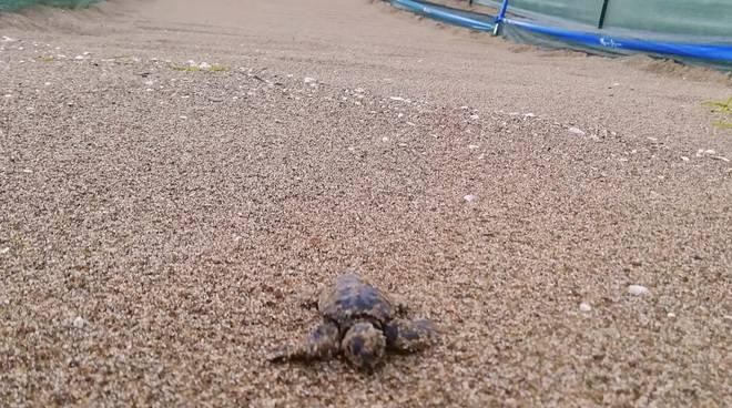 schiusa tartarughe sett 2019
