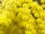 mimosa primavera fiori